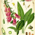 digitalis purpurea koehler 150x150 The Foxglove