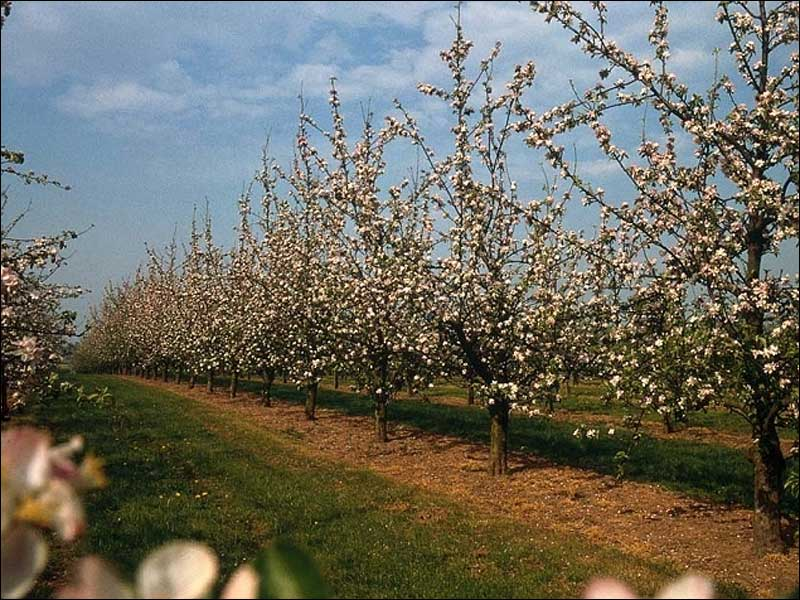 Over 365 cidre apples are grown in the UK. - credit NACM